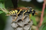 Wasp pest control and wasp nest removal
