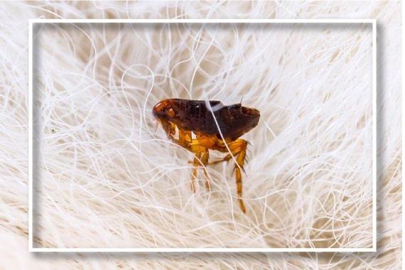 Expert Flea Control Sydney
