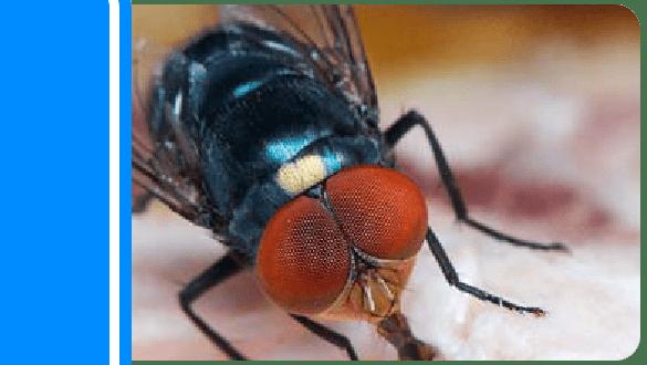 Flies Control Sydney