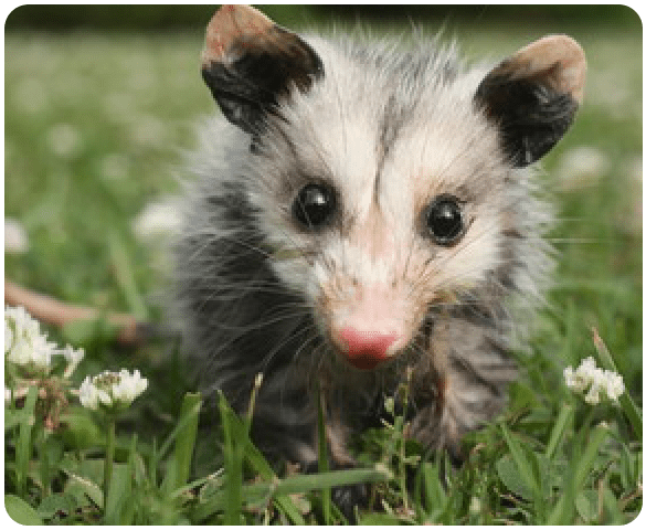 Possum Removal Sydney